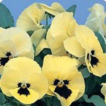 Диана Lemon Blotch семена фиалки ампельной (Kitano Seeds)