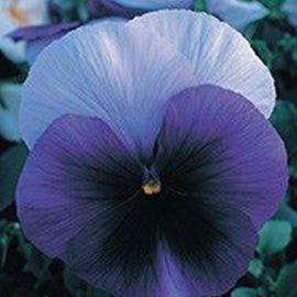 Династия Beaconsfield семена фиалки (Kitano Seeds)
