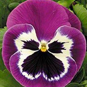Династия Purple Bicolour семена фиалки 15-25см (Kitano Seeds) НЕТ ТОВАРА