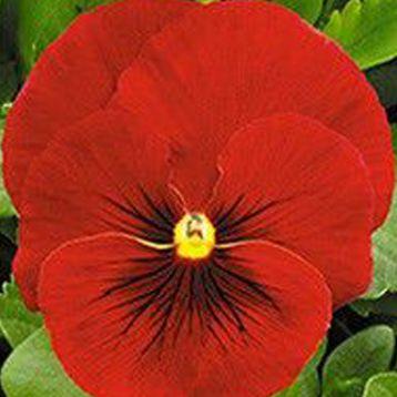 Династия Scarlet Shades семена фиалки (Kitano Seeds)