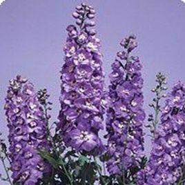 Икебана Lavender семена дельфиниума альпийского (Kitano Seeds)