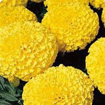 Кабери Yellow семена бархатцев американских (Kitano Seeds)