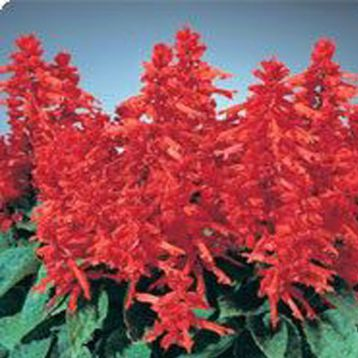 Кампай Deep Red семена сальвии блестящей (Kitano Seeds)