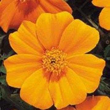 Бархатцы Карнавал Orange оранжевые
