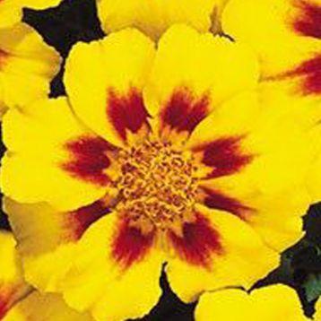 Карнавал Yellow Blotch семена бархатцев французских (Kitano Seeds)
