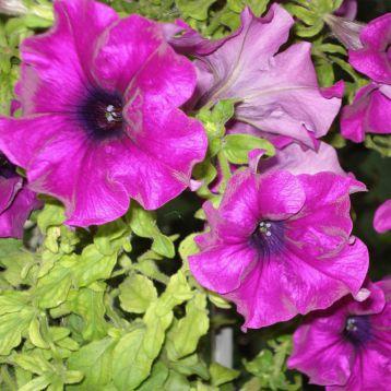 Петуния Танака Purple (пурпурная)