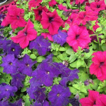 Танака Mix семена петунии крупноцветковой дражированые (Kitano Seeds)