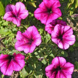 Танака Дип Роуз (Deep Rose) семена петунии крупноцветковой дражированные (Kitano Seeds)