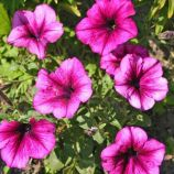 Петуния Танака Deep Rose (дип роуз)