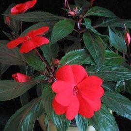 Султан Ред (Sultan Red) семена Бальзамина F1 (Impatiens F1) однол. (Kitano Seeds) НЕТ СЕМЯН