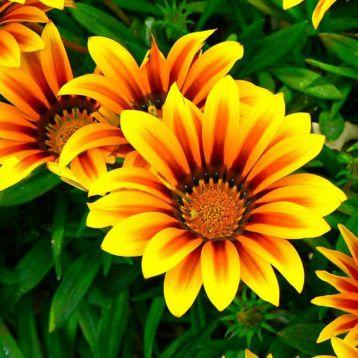Газания Пилигрим Еллоу Стар (Piligrim Yellow Star)