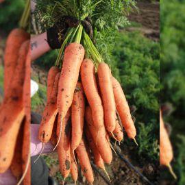 Грета F1 семена моркови Нантес средней 100-110 дн 200-220 гр (Lucky Seed)