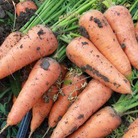 Нарина F1 (Норма F1, LS 2513 F1) семена моркови Шантане средней 110-120 дн. (Lucky Seed)
