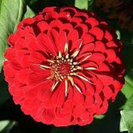 Цинния георгиновидная красная семена однол. (Moravoseed)