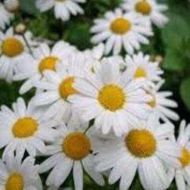 Ромашка крупноцветковая белая семена (Moravoseed)
