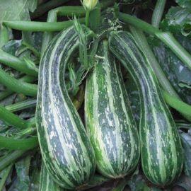 Тапир семена цуккини раннего темно-зелен. полосатого (Moravoseed)