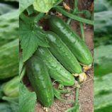 семена огурца регия f1