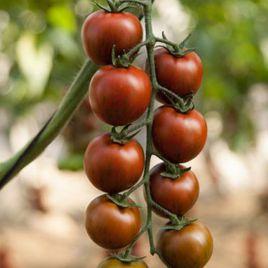 Тайгер F1 семена томата индет. коктейльный тип (Yuksel)