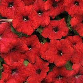 Ламбада F1 бургунди семена петунии мультифлора (Hem Zaden)