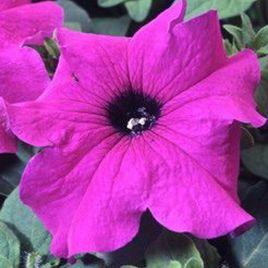 Танго F1 фиолет. семена петунии грандифлора (Hem Zaden)