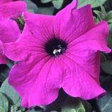Петуния Танго фиолетовая (purple)