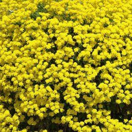 Горное золото семена алиссума (Hem Zaden)