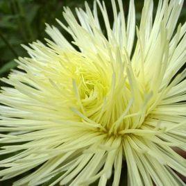 Игольчатая астра желтая семена (Moravoseed)