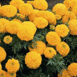 Бархатцы прямостоячие оранжевые семена однол. (Moravoseed)
