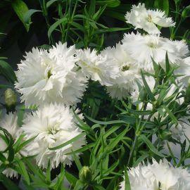 Грейс F1 белая семена гвоздики китайской махровой (Hem Zaden ПН)