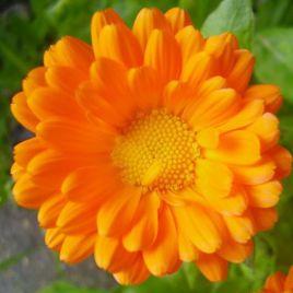 Календула оранжевая семена (Moravoseed)