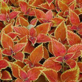 Визард Сан Чоколет кримсон голд семена колеуса (Pan American)