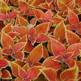 Сан Чоколет кримсон голд семена колеуса (Pan American)