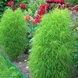 Кохия кипарисовидная семена однол. 60-80см (Moravoseed)