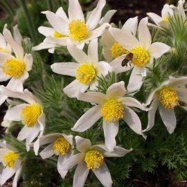 Сон-трава белая семена сон-травы (Hem Zaden)
