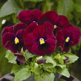 Маммут F1 роки роуз семена виолы (Syngenta)