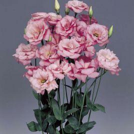 АВС F1 дип роуз семена эустомы махровой (Syngenta)