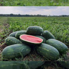 Юмми F1 (№12 F1) семена арбуза тип Кримсон Свит раннего 68-70 дн 8-10 кг удл. (Lark Seeds)