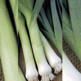 Карентан семена лука порей среднего 180-200дн. (Euroseed КЛ) НЕТ ТОВАРА