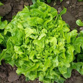 Дубачек семена салата тип Дуболистный раннего 50-55 дн. зел. (Moravoseed)