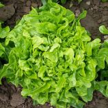 Дубачек семена салата тип Дуболистный раннего 50-55 дн. светло-зел. (Moravoseed)