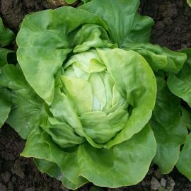 Ленто семена салата тип Кочанный (Moravoseed)