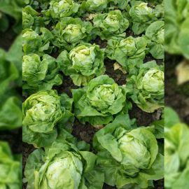 Ленто семена салата тип Маслянистый среднераннего 63-75 дн. зел. (Moravoseed)
