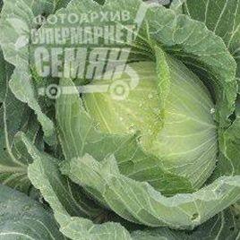 Ксена F1 семена капусты б/к среднеранней (Erste Zaden)