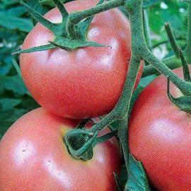 Пинк Энжел F1 семена томата индет. розового (Erste Zaden)