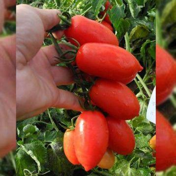 Брисколино F1 семена томата дет. (United Genetics)