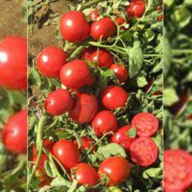 В 169 F1 семена томата дет. слив. 130-150 гр. (United Genetics)