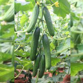 Аббад F1 семена огурца партенокарп. 18-20см (Гавриш) НЕТ ТОВАРА