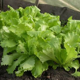 семена салата листового азарт