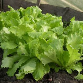 Азарт семена салата тип Батавия (Гавриш) НЕТ ТОВАРА