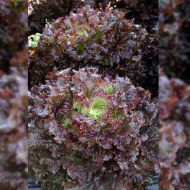 Барбадос семена салата тип Гранд Рапидс (Гавриш) НЕТ СЕМЯН